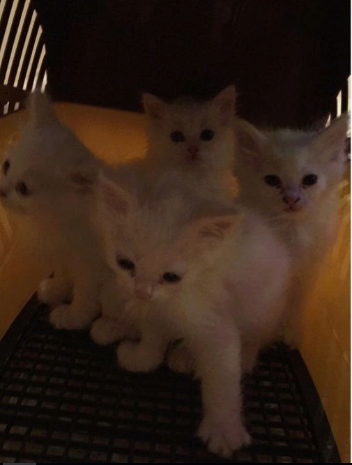 قطط شيرازيه صغيرة للبيع Q22