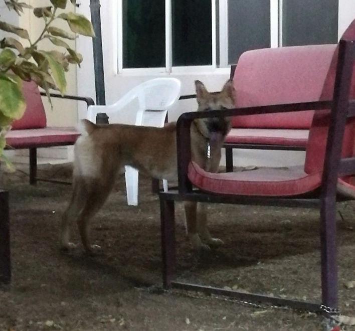 ذكر مالينو كلب حراسة بالرياض  Q30