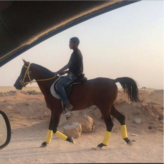 حصان عربي شعبي منوة الخيال للبيع Q45
