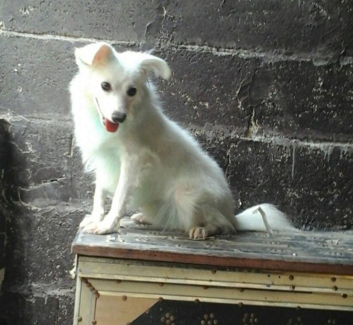 كلب ابيض صغير امريكي Q48