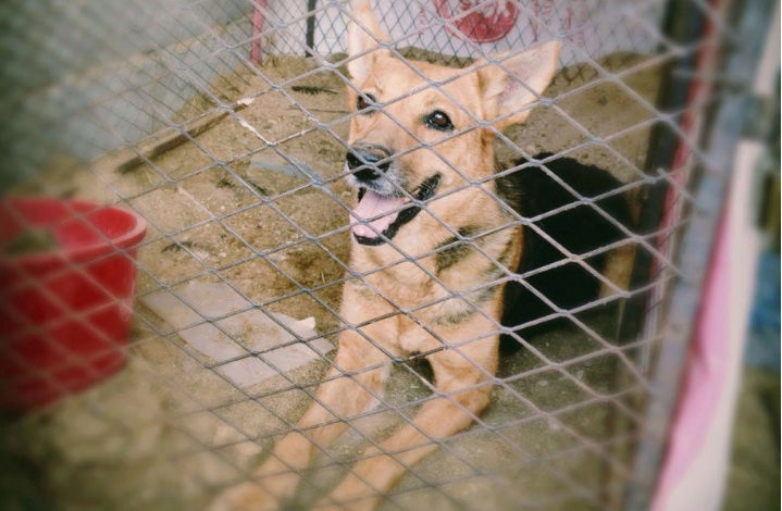 كلب بوليسي من نوع جيرمن شيبرد  Qe11