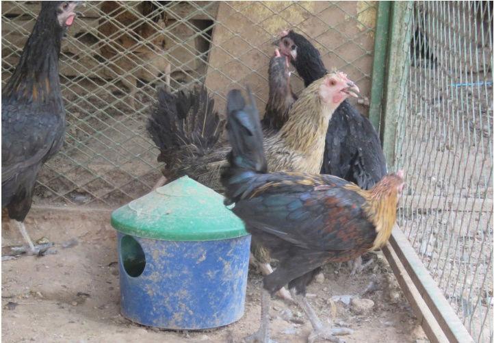 دجاج وديك العدد 10 Qe12