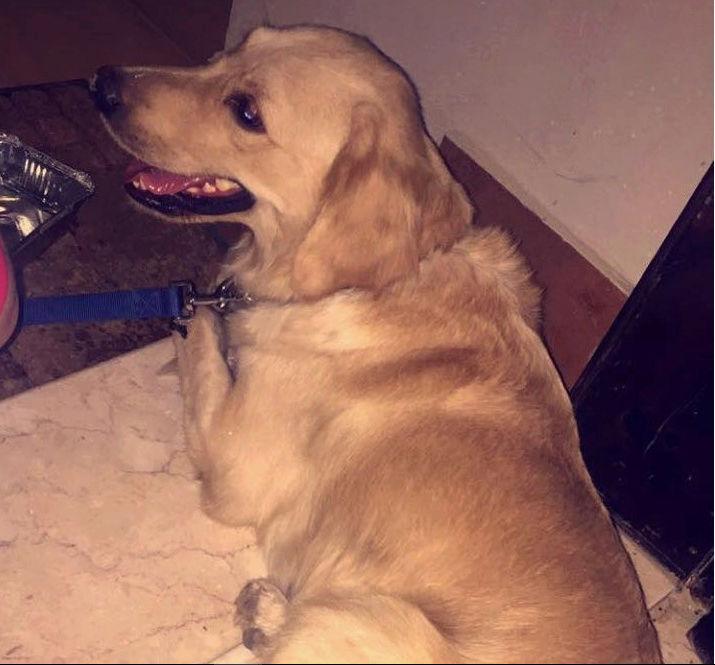 أنثى كلب من نوع  جلودن ريتريفر  Qw10
