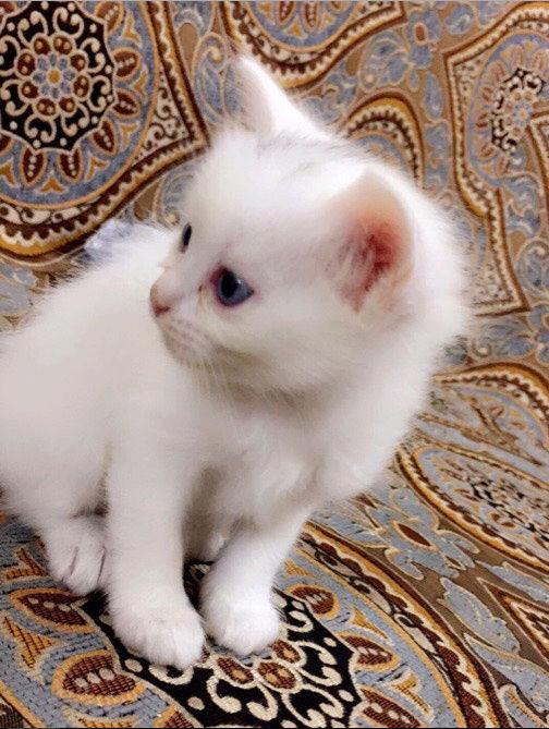 كيتن شيرازي عمرها حوالي شهر و 5 ايام Qw12