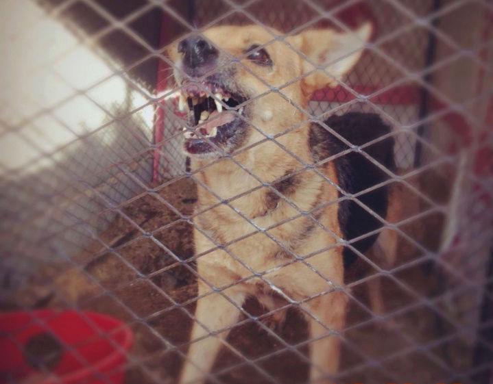 كلب بوليسي من نوع جيرمن شيبرد  Qw15
