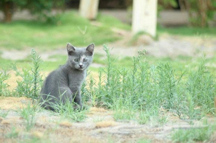 قطة امريكية انثى رمادية صغيرة  Qw17