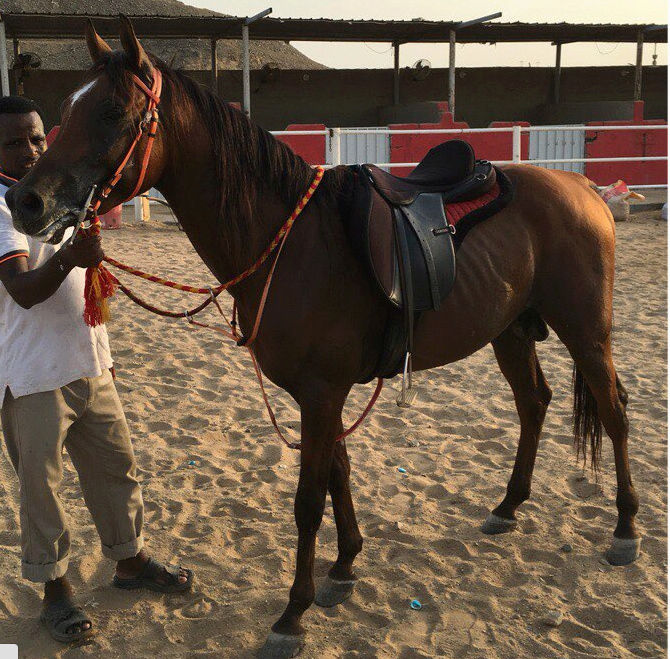 حصان شعبي عمره 5 سنوات R12