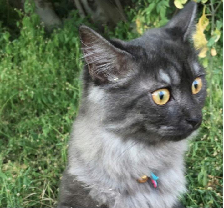 قط شيرازي ذكر مع أغراضه  S10