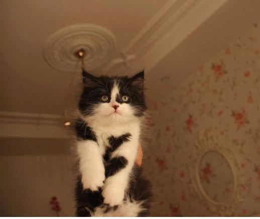 قطط كيتن ذكور للبيع   S110