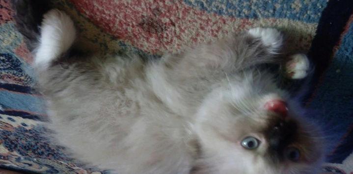 قطط هملايا ذكر واربع اناث  T10