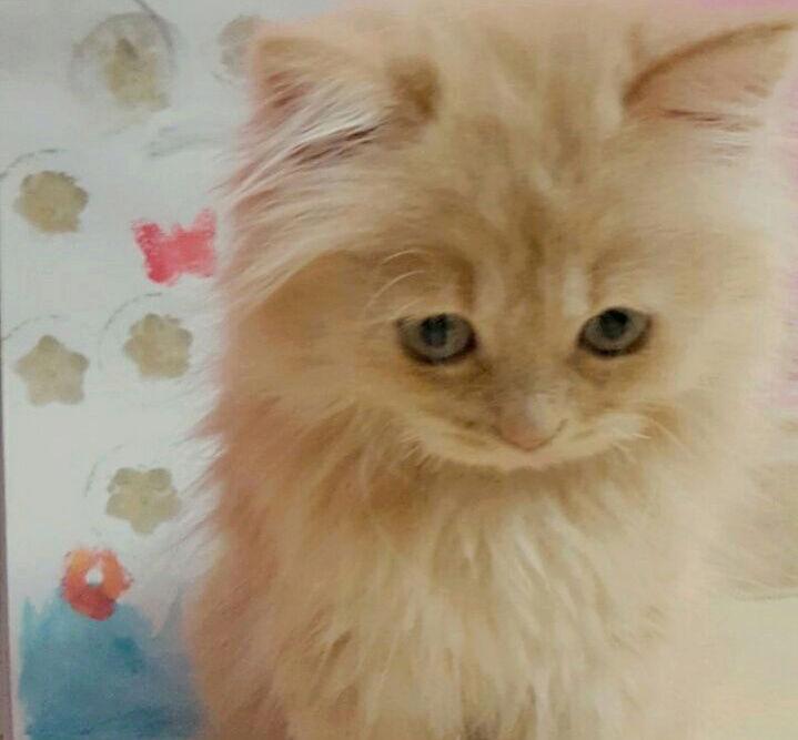 للبيع قطه شيرازي مون فيس  T11
