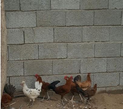 دجاج بلديا عمره 6 أشهر  U10