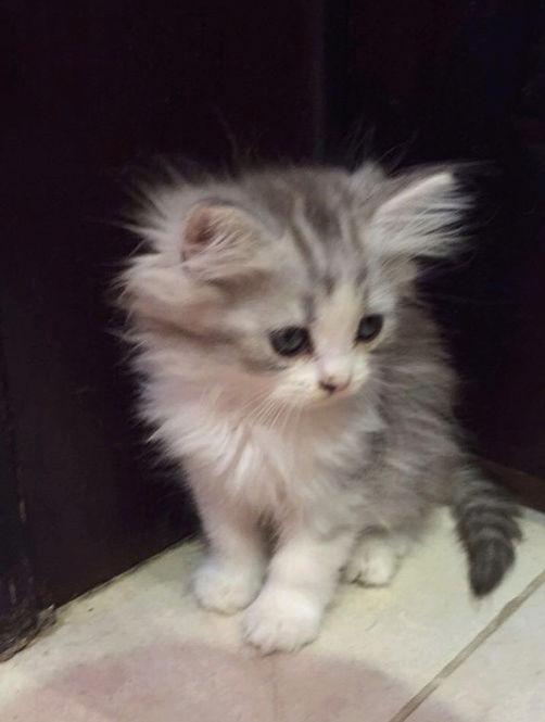 قطط شيرازيه صغيرة للبيع W15