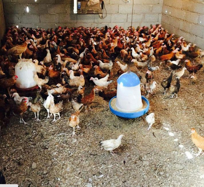 دجاج وصوص بلدي باعمار متفاوته  W17