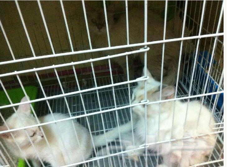 3 قطط شرازية للبيع بالجملة W23