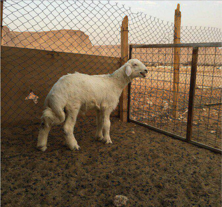 خروف حري طيب عمره ثلاث شهور  W33