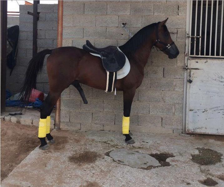 حصان عربي شعبي منوة الخيال للبيع W34