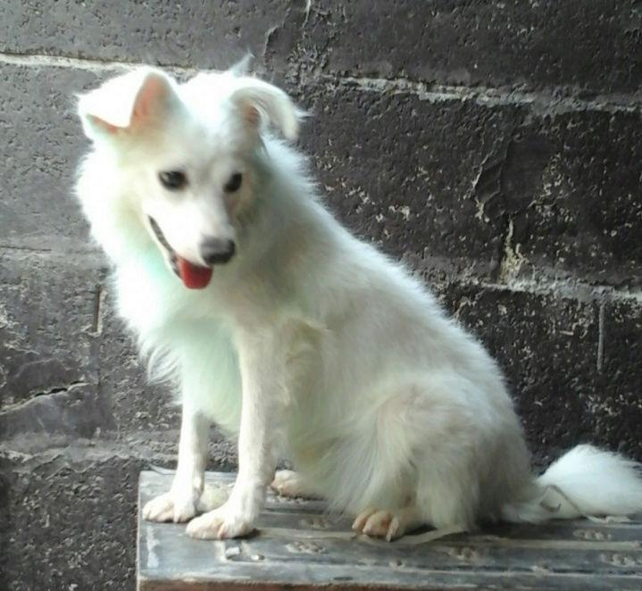كلب ابيض صغير امريكي W37