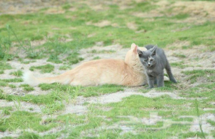 قطة امريكية انثى رمادية صغيرة  We12