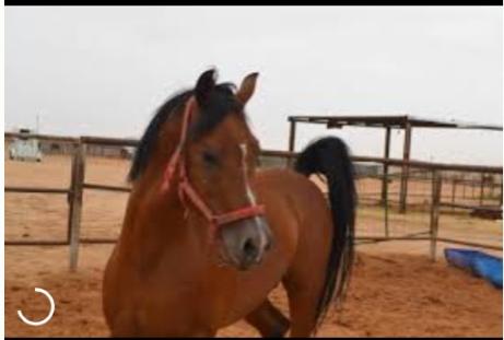 حصان عربي اصيل للبيع الشرقية  Y10