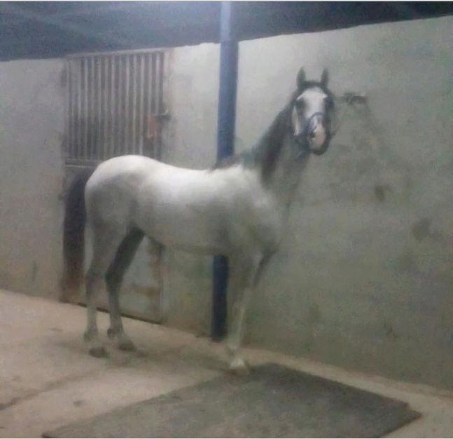حصان شعبي شيخ طيب الطبع Y16