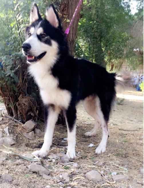 كلب ذكرهاسكي في الرياض Y32