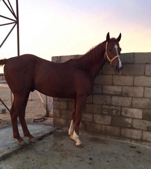 حصان انقليزي في غاية الروعة و الجمال  Y36