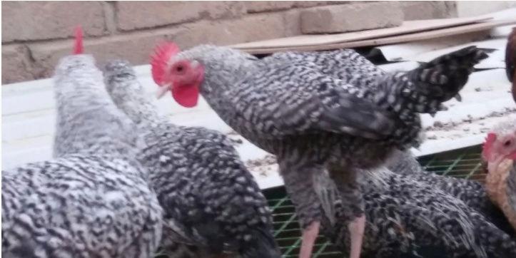25 جبه دجاج فيومي للبيع  Yi11