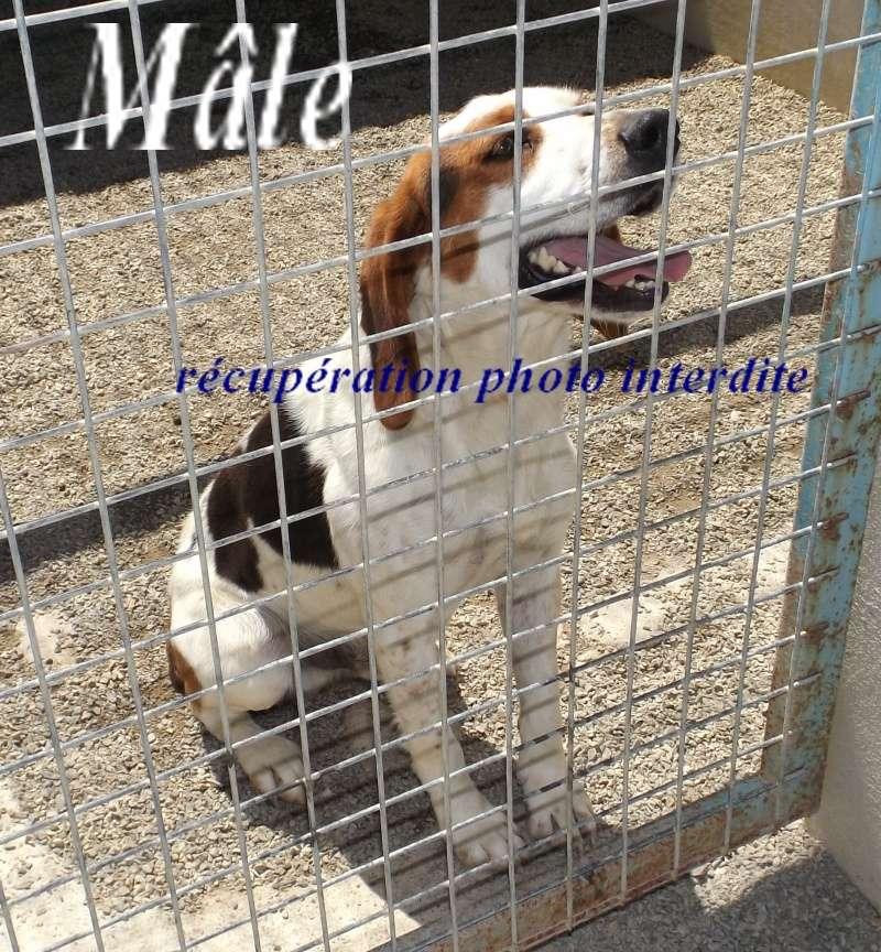 Mâle x beagle harrier - Fourrière Sud 44 - Délai 29 juin 2016 213
