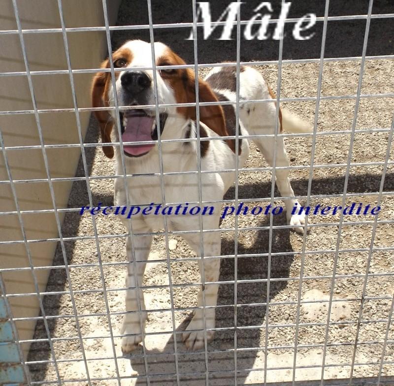 Mâle x beagle harrier - Fourrière Sud 44 - Délai 29 juin 2016 411