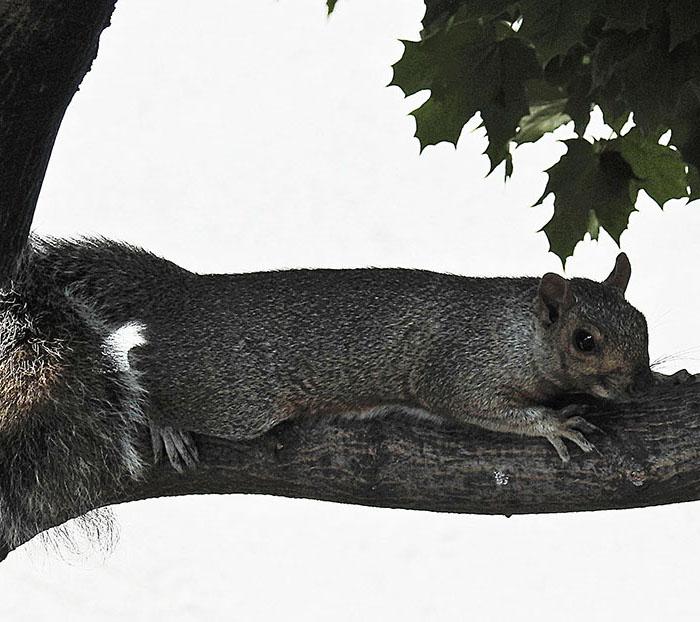 Écureuil gris 00118