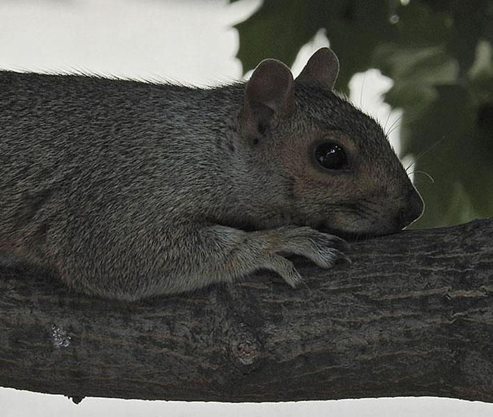 Écureuil gris 00215