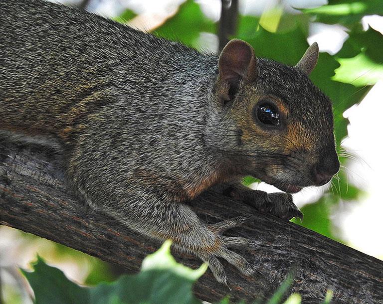 Écureuil gris 00314