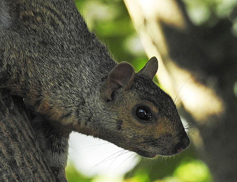 Écureuil gris 00413