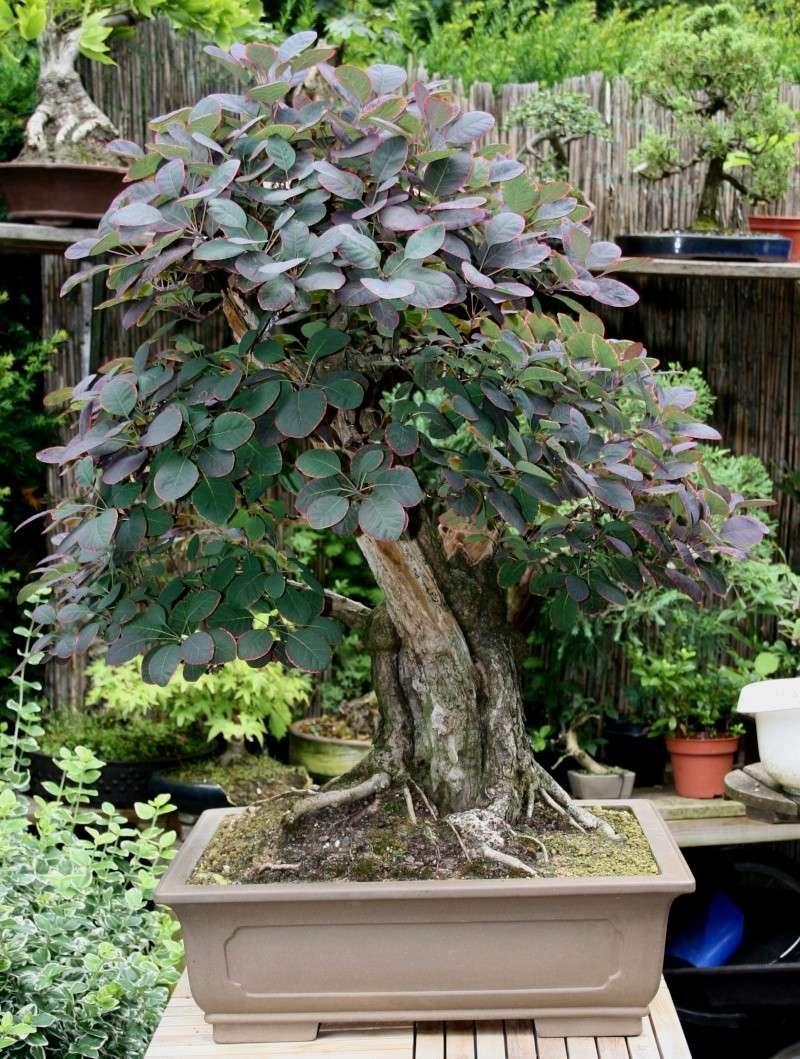 Purple Smokebush 00111