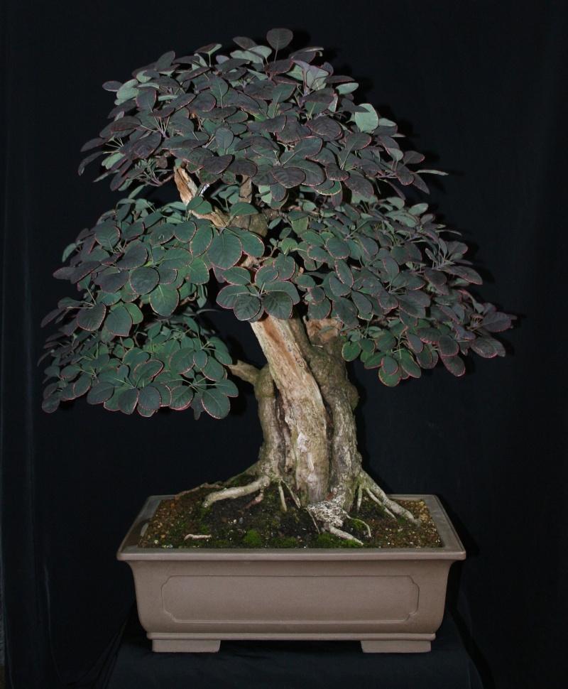 Purple Smokebush 01312