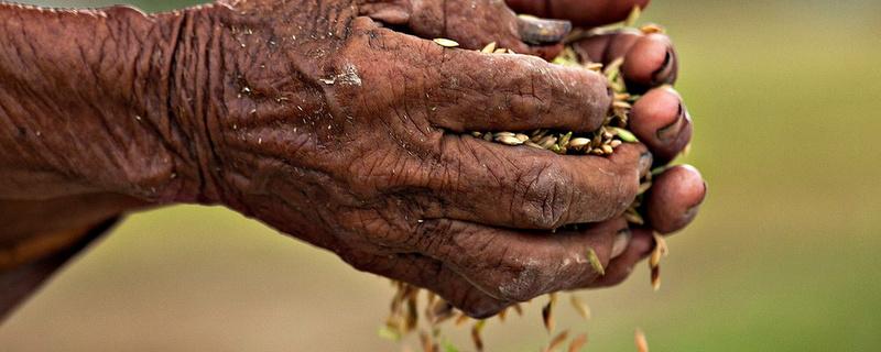 Nỗi đau của hạt gạo Việt Nam  Slide-10