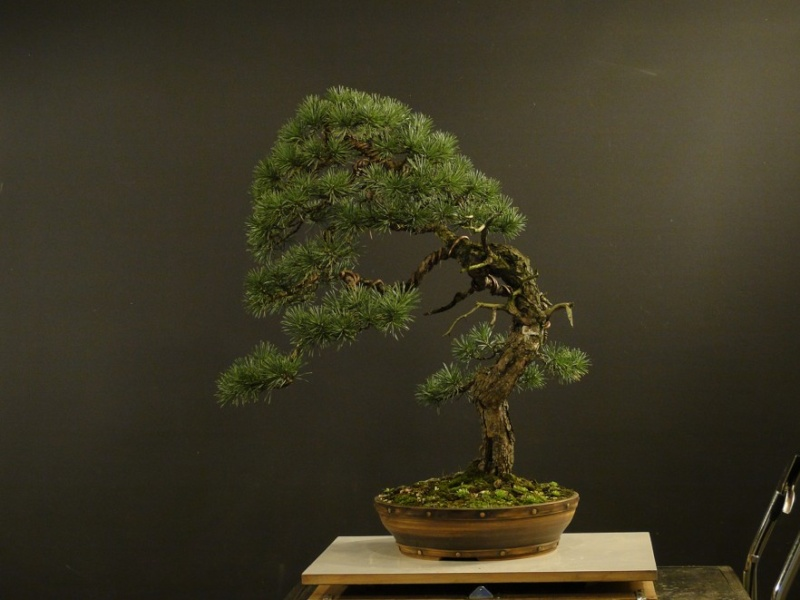 Pinus sylvestris - wider trunk - Page 2 Cerven10