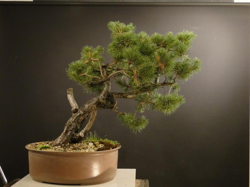 Pinus sylvestris - owner Mr. Homola (SK) Dsc07419