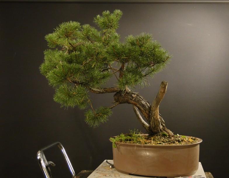 Pinus sylvestris - owner Mr. Homola (SK) Dsc07420