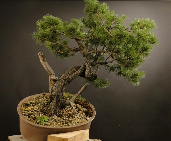 Pinus sylvestris - owner Mr. Homola (SK) Dsc07421