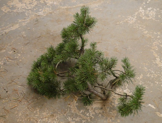 Pinus sylvestris - owner Mr. Homola (SK) Dsc07423