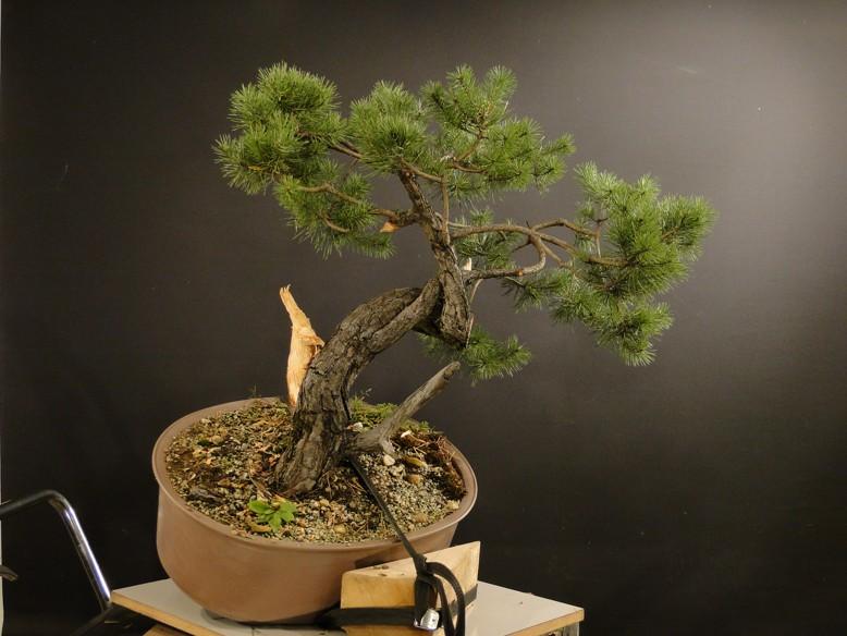 Pinus sylvestris - owner Mr. Homola (SK) Dsc07425