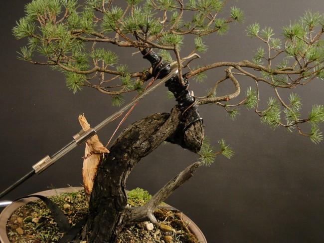 Pinus sylvestris - owner Mr. Homola (SK) Dsc07426