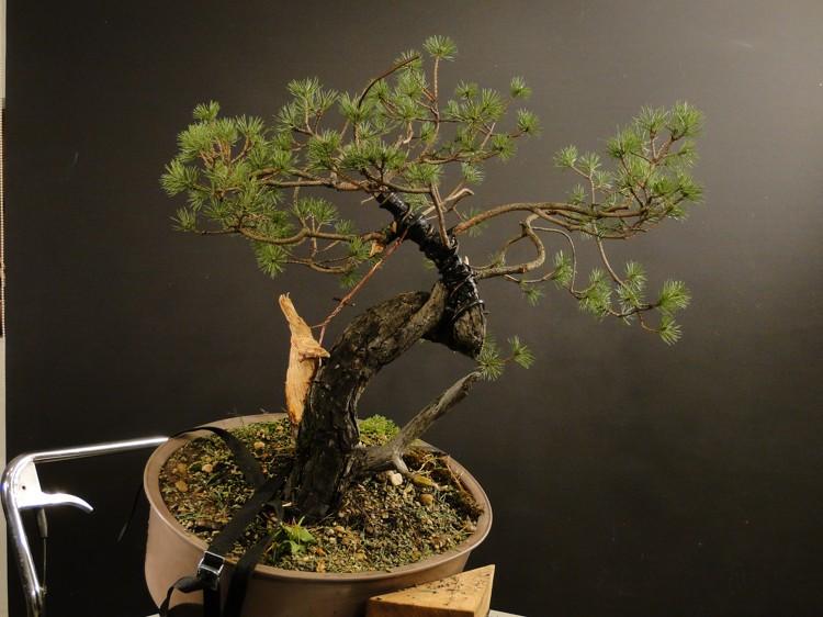 Pinus sylvestris - owner Mr. Homola (SK) Dsc07427