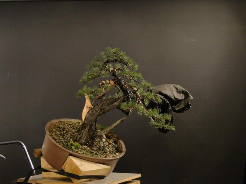 Pinus sylvestris - owner Mr. Homola (SK) Dsc07510