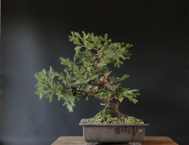 Yamadori Picea abies  (owner M.Škrabal) - first styling Dsc07511