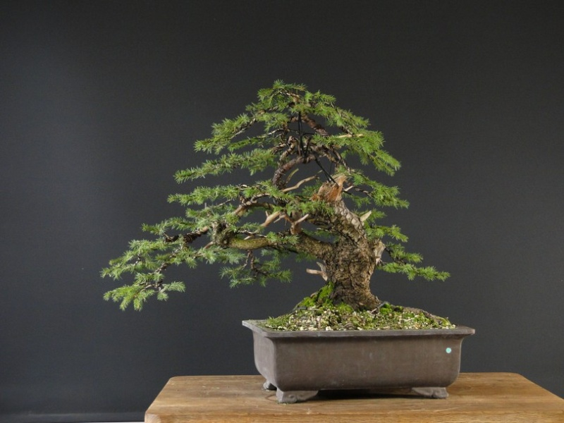 Yamadori Picea abies  (owner M.Škrabal) - first styling Dsc07512