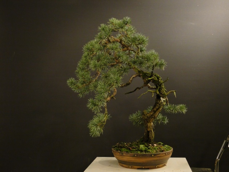 Pinus sylvestris - wider trunk - Page 2 Dsc07518