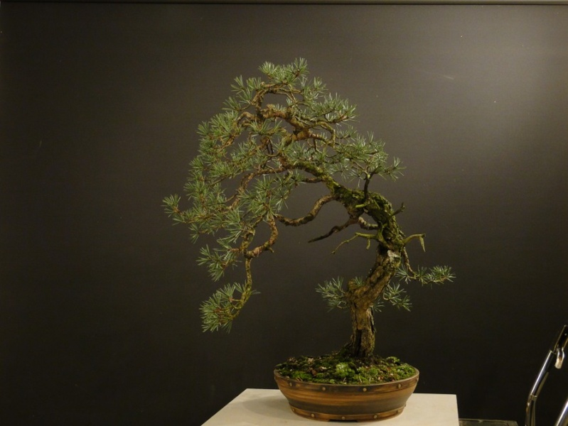 Pinus sylvestris - wider trunk - Page 2 Dsc07520